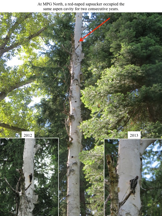 At MPG North, a red-naped sapsucker occupied the same aspen cavity for two consecutive years.