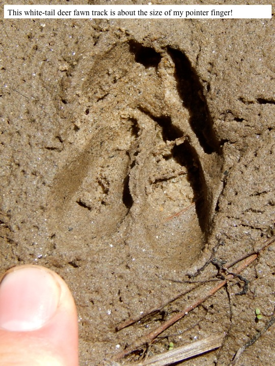 This white-tail deer fawn track is about the size of my pointer finger!