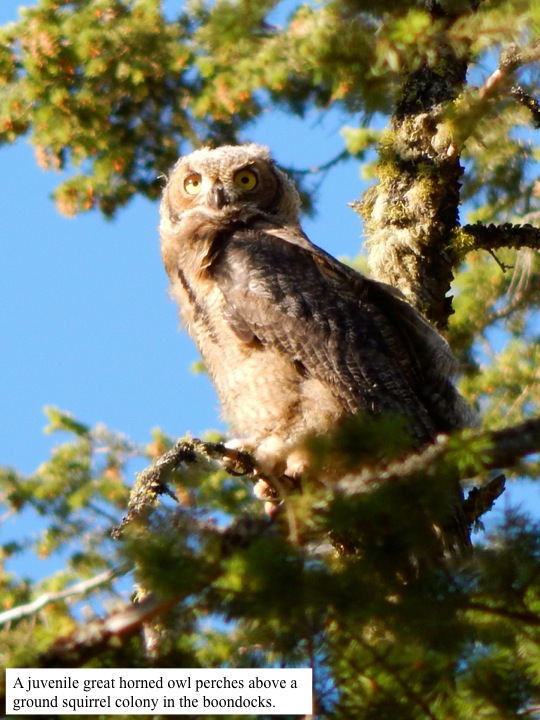 A juvenile great horned owl perches above a ground squirrel colony in the boondocks.