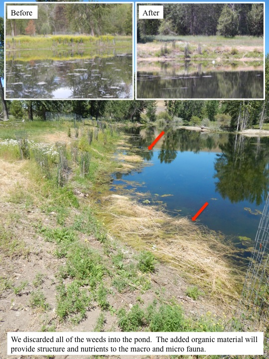 The crew removed weeds from the southern edges of the clubhouse pond. A weed free bank will allow the native plant communities to flourish.  We discarded all of the weeds into the pond. The added organic material will provide structure and nutrients to the macro and micro fauna.