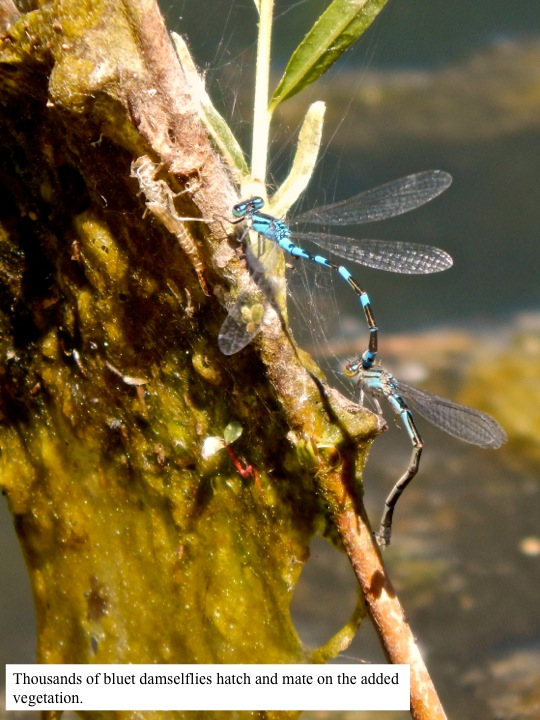 Thousands of bluet damselflies hatch and mate on the added vegetation.