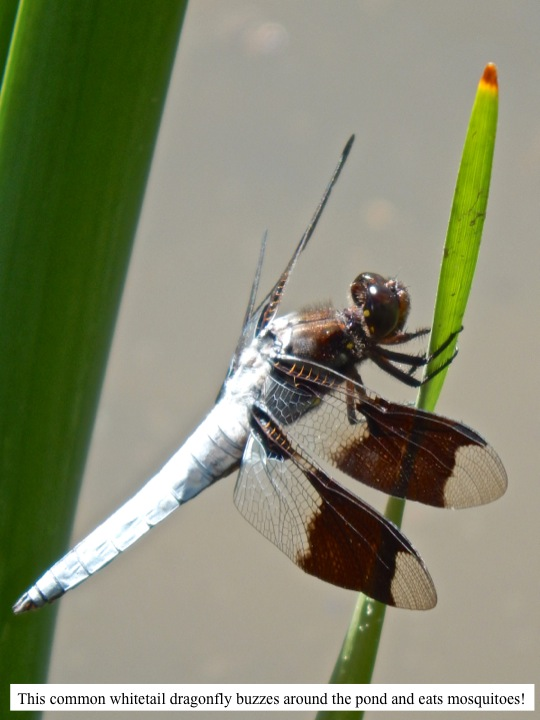 This common whitetail dragonfly buzzes around the pond and eats mosquitoes!