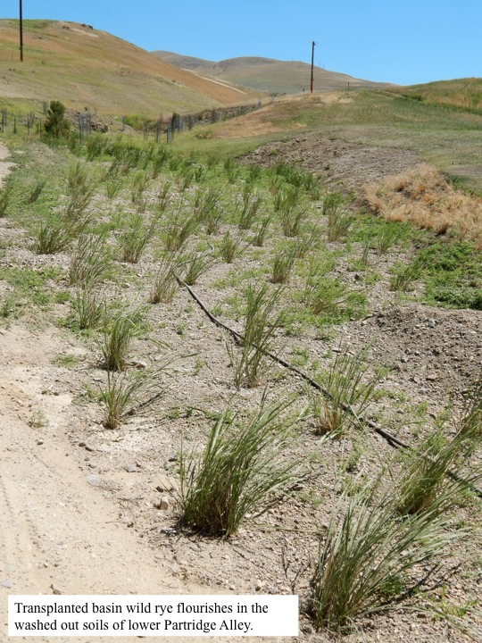 Transplanted basin wild rye flourishes in the washed out soils of lower Partridge Alley.