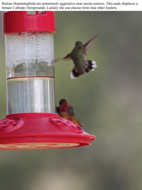 when the light hits it just right. Rufous Hummingbirds are notoriously aggressive near nectar sources. This male displaces a female Calliope (foreground). Luckily she can choose from four other feeders.