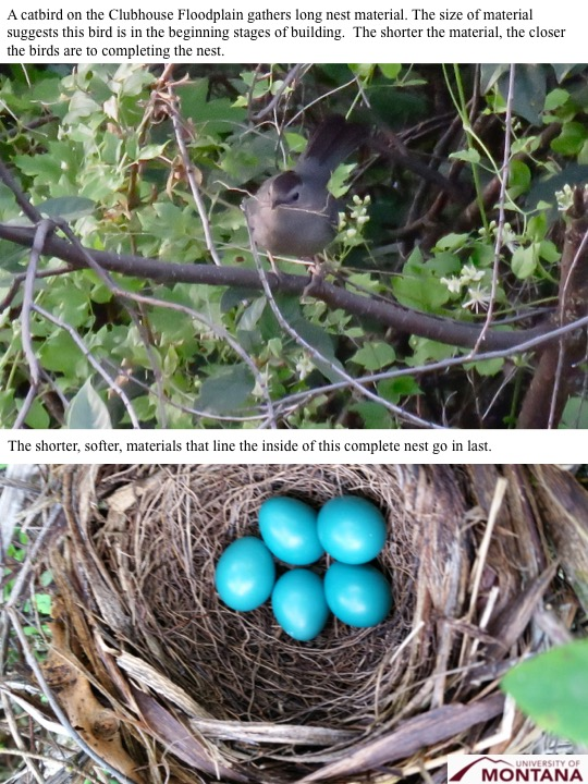 A catbird on the Clubhouse Floodplain gathers long nest material. The size of material suggests this bird is in the beginning stages of building. The shorter the material, the closer the birds are to completing the nest.