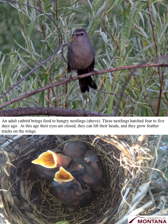 An adult catbird brings food to hungry nestlings (above). These nestlings hatched four to five days ago. At this age their eyes are closed, they can lift their heads, and they grow feather tracks on the wings.