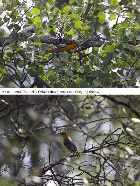 An adult male Bullock's Oriole (above) tends to a fledgling (below).