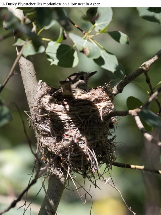 A Dusky Flycatcher lies motionless on a low nest in Aspen.