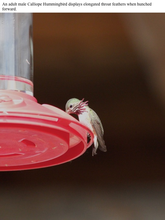 An adult male Calliope Hummingbird displays elongated throat feathers when hunched forward.