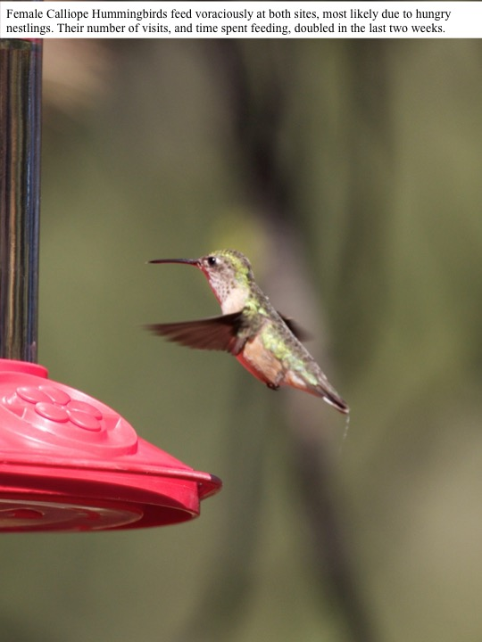 Female Calliope Hummingbirds feed voraciously at both sites, most likely due to hungry nestlings. Their number of visits, and time spent feeding, doubled in the last two weeks.