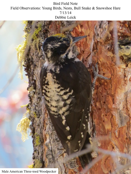 Male American Three-toed Woodpecker