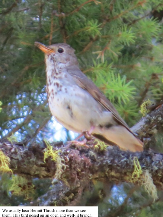 We usually hear Hermit Thrush more than we see them. This bird posed on an open and well-lit branch.
