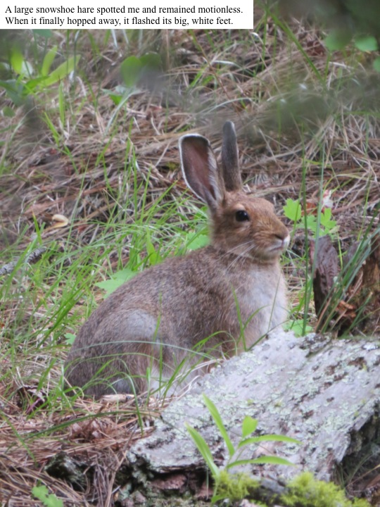 A large snowshoe hare spotted me and remained motionless. When it finally hopped away, it flashed its big, white feet.