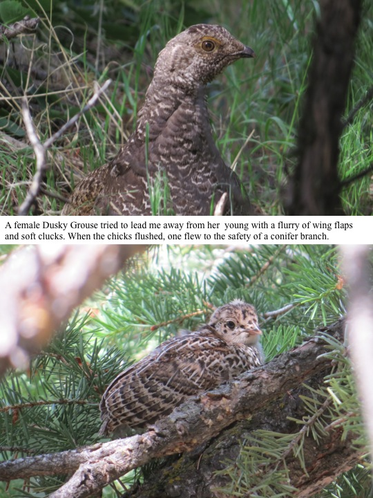 A female Dusky Grouse tried to lead me away from her young with a flurry of wing flaps and soft clucks. When the chicks flushed, one flew to the safety of a conifer branch.