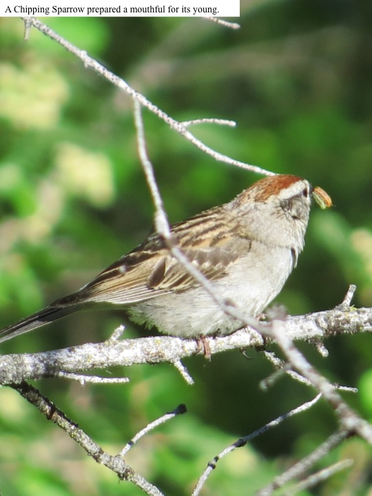 A Chipping Sparrow prepared a mouthful for its young.