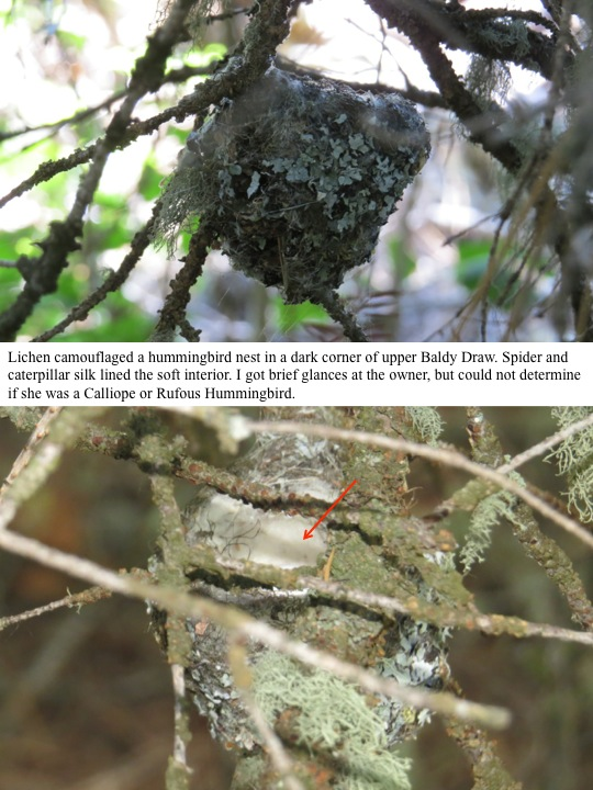 Lichen camouflaged a hummingbird nest in a dark corner of upper Baldy Draw. Spider and caterpillar silk lined the soft interior. I got brief glances at the owner, but could not determine if she was a Calliope or Rufous Hummingbird.