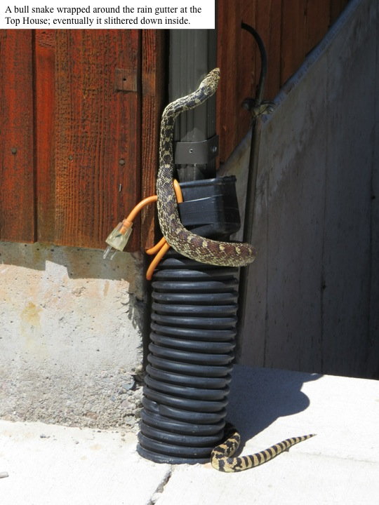 A bull snake wrapped around the rain gutter at the Top House; eventually it slithered down inside.