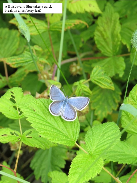 A Boisduval's Blue takes a quick break on a raspberry leaf.