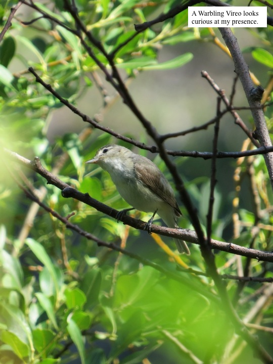 A Warbling Vireo looks curious at my presence.