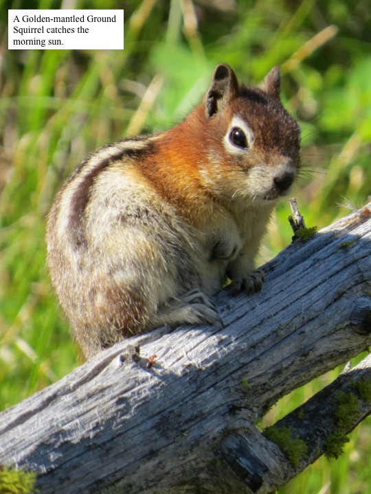 A Golden-mantled Ground Squirrel catches the morning sun.