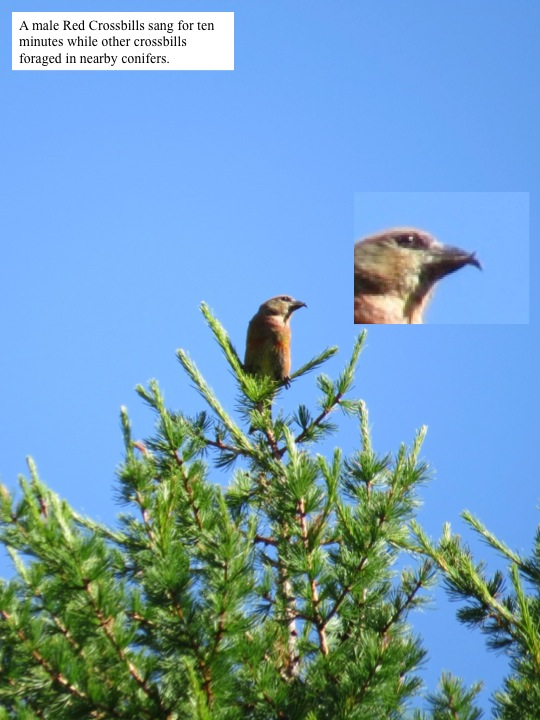 sun. A male Red Crossbills sang for ten minutes while other crossbills foraged in nearby conifers.