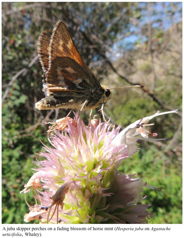 A juba skipper perches on a fading blossom of horse mint (Hesperia juba on Agastache urticifolia, Whaley).