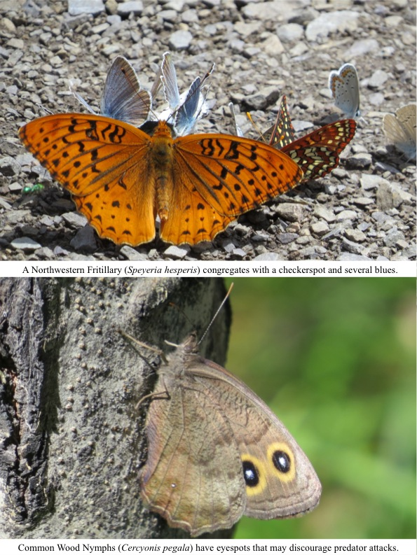 A Northwestern Fritillary (Speyeria hesperis) congregates with a checkerspot and several blues.