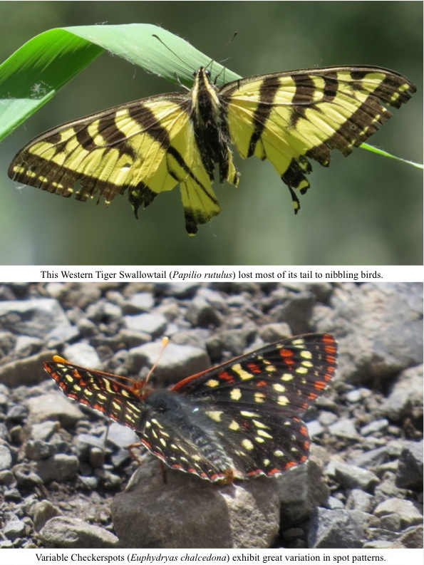 Variable Checkerspots (Euphydryas chalcedona) exhibit great variation in spot patterns. This Western Tiger Swallowtail (Papilio rutulus) lost most of its tail to nibbling birds.