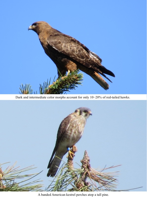 Dark and intermediate color morphs account for only 10−20% of red-tailed hawks.