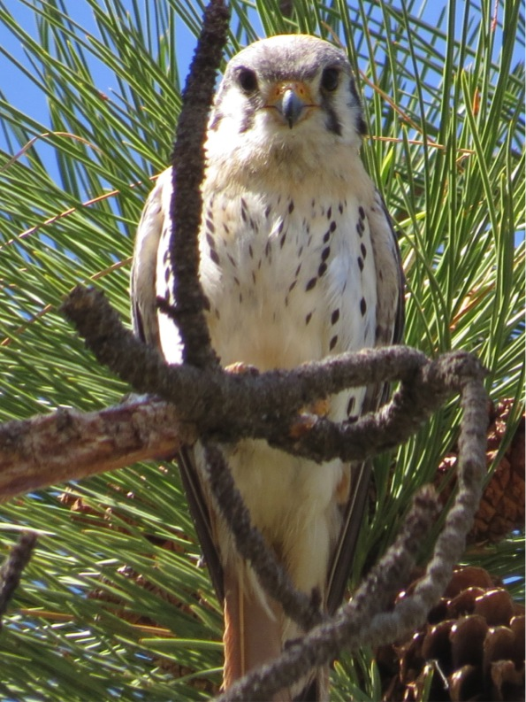 A banded American kestrel perches atop a tall pine.