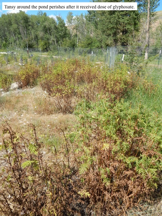 Tansy around the pond perishes after it received dose of glyphosate.