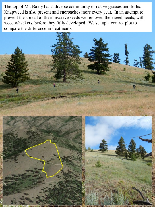 The top of Mt. Baldy has a diverse community of native grasses and forbs. Knapweed is also present and encroaches more every year. In an attempt to prevent the spread of their invasive seeds we removed their seed heads, with weed whackers, before they fully developed. We set up a control plot to compare the difference in treatments.