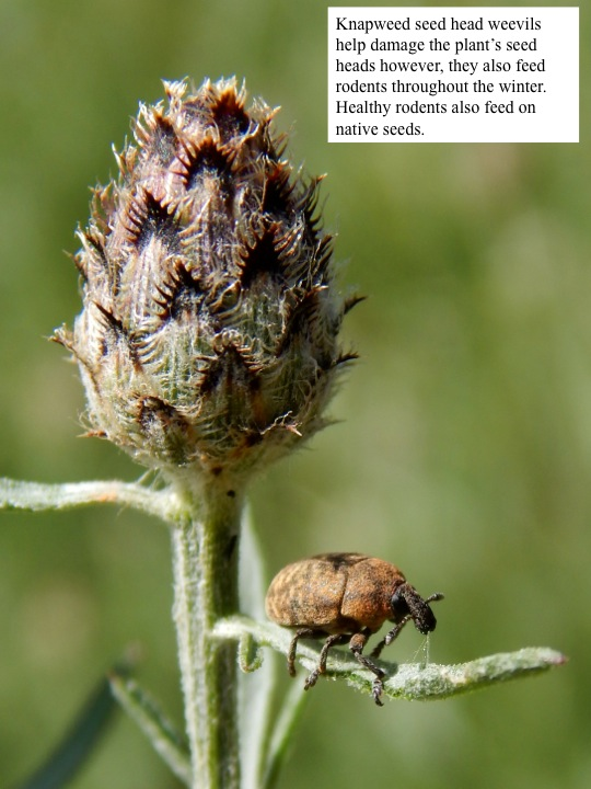 Knapweed seed head weevils help damage the plant's seed heads however, they also feed rodents throughout the winter. Healthy rodents also feed on native seeds.