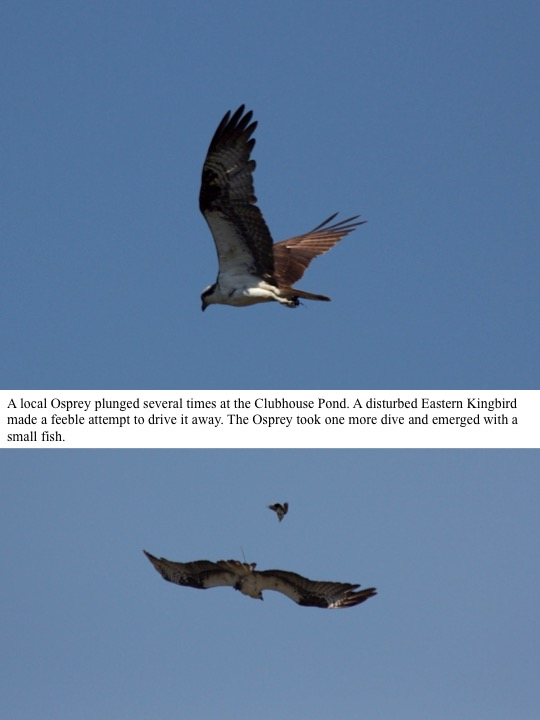 A local Osprey plunged several times at the Clubhouse Pond. A disturbed Eastern Kingbird made a feeble attempt to drive it away. The Osprey took one more dive and emerged with a small fish.