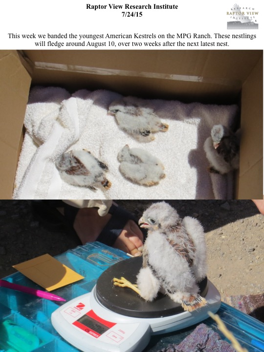 This week we banded the youngest American Kestrels on the MPG Ranch. These nestlings will fledge around August 10, over two weeks after the next latest nest.