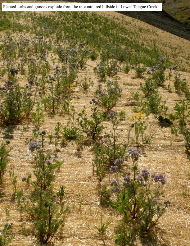Planted forbs and grasses explode from the re-contoured hillside in Lower Tongue Creek.