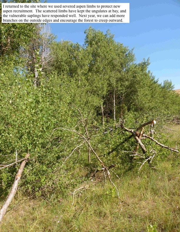 I returned to the site where we used severed aspen limbs to protect new aspen recruitment. The scattered limbs have kept the ungulates at bay, and the vulnerable saplings have responded well. Next year, we can add more branches on the outside edges and encourage the forest to creep outward.