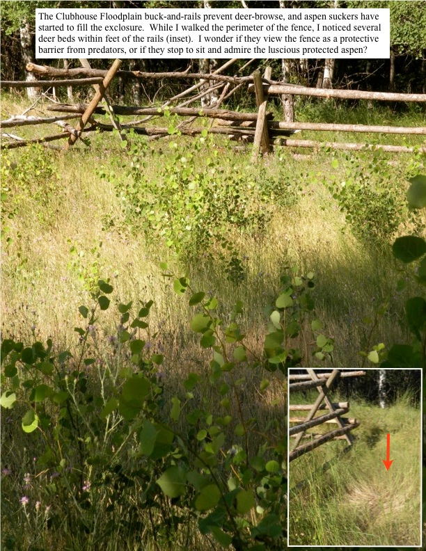 The Clubhouse Floodplain buck-and-rails prevent deer-browse, and aspen suckers have started to fill the exclosure. While I walked the perimeter of the fence, I noticed several deer beds within feet of the rails (inset). I wonder if they view the fence as a protective barrier from predators, or if they stop to sit and admire the luscious protected aspen?