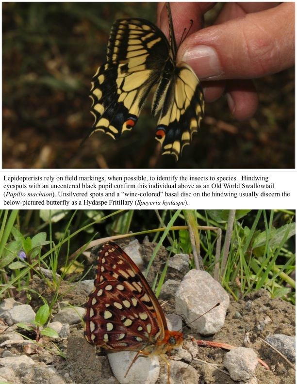 "Lepidopterists rely on field markings, when possible, to identify the insects to species. Hindwing eyespots with an uncentered black pupil confirm this individual above as an Old World Swallowtail (Papilio machaon). Unsilvered spots and a ""wine-colored"" basal disc on the hindwing usually discern the below-pictured butterfly as a Hydaspe Fritillary (Speyeria hydaspe)."