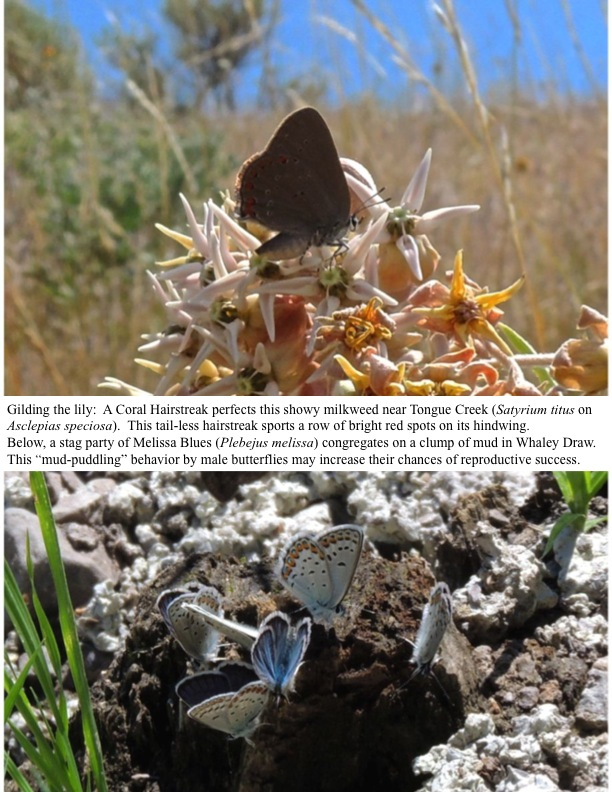 "Gilding the lily: A Coral Hairstreak perfects this showy milkweed near Tongue Creek (Satyrium titus on Asclepias speciosa). This tail-less hairstreak sports a row of bright red spots on its hindwing. Below, a stag party of Melissa Blues (Plebejus melissa) congregates on a clump of mud in Whaley Draw. This ""mud-puddling"" behavior by male butterflies may increase their chances of reproductive success."