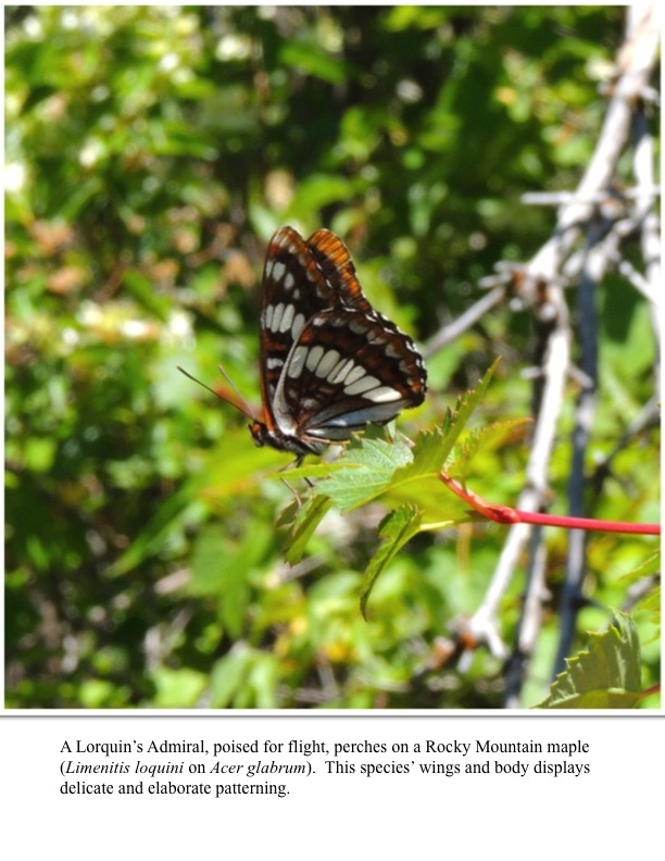 A Lorquin's Admiral, poised for flight, perches on a Rocky Mountain maple (Limenitis loquini on Acer glabrum). This species' wings and body displays delicate and elaborate patterning.