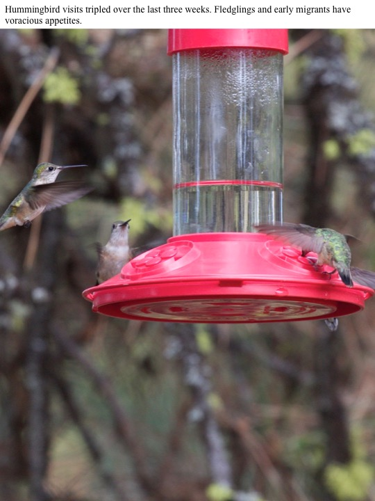Hummingbird visits tripled over the last three weeks. Fledglings and early migrants have voracious appetites.
