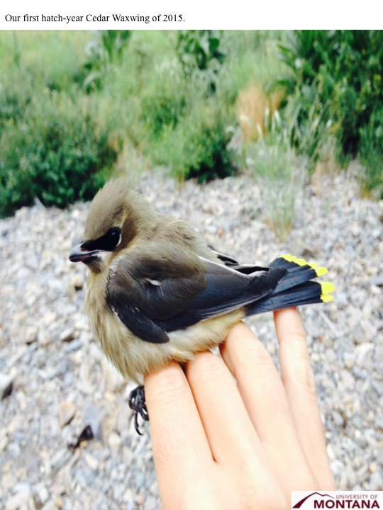 Our first hatch-year Cedar Waxwing of 2015.