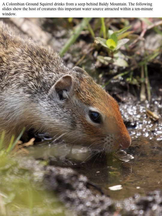 A Colombian Ground Squirrel drinks from a seep behind Baldy Mountain. The following slides show the host of creatures this important water source attracted within a ten-minute window.