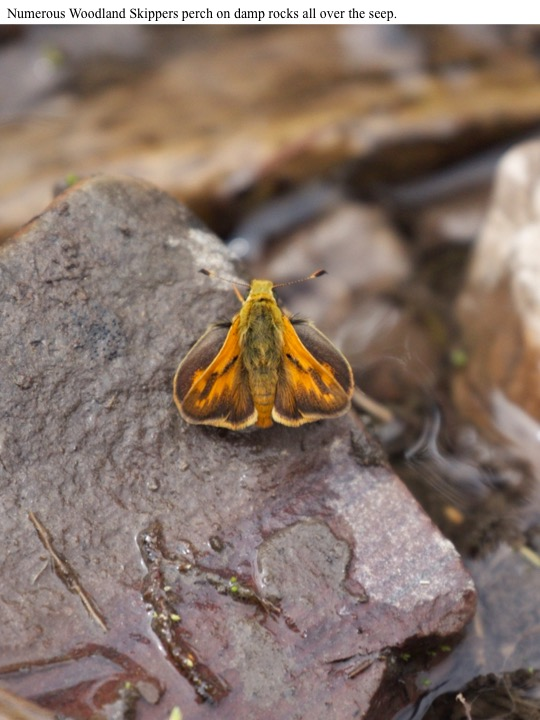 below). Numerous Woodland Skippers perch on damp rocks all over the seep.