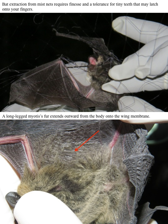 A long-legged myotis's fur extends outward from the body onto the wing membrane.