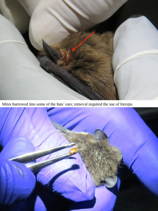 Mites burrowed into some of the bats' ears; removal required the use of forceps.