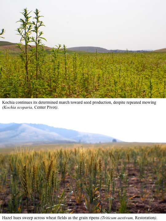 Kochia continues its determined march toward seed production, despite repeated mowing (Kochia scoparia, Center Pivot).