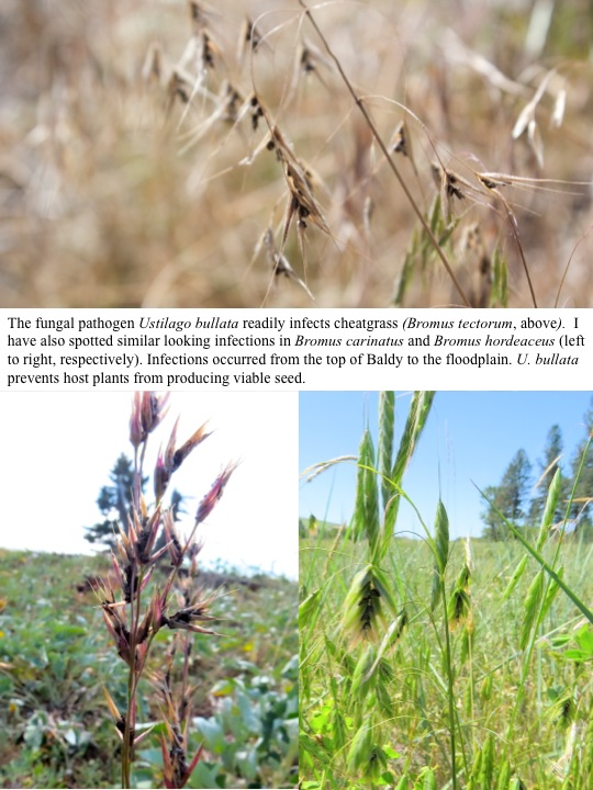 The fungal pathogen Ustilago bullata readily infects cheatgrass (Bromus tectorum, above). I have also spotted similar looking infections in Bromus carinatus and Bromus hordeaceus (left to right, respectively). Infections occurred from the top of Baldy to the floodplain. U. bullata prevents host plants from producing viable seed.