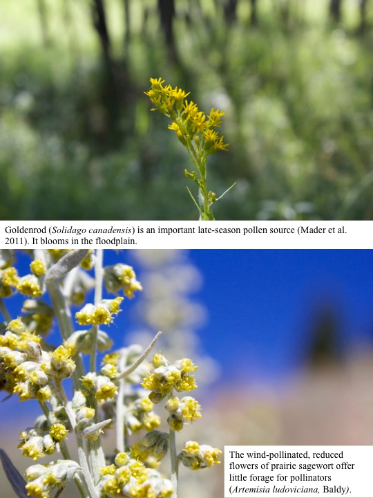 Goldenrod (Solidago canadensis) is an important late-season pollen source (Mader et al. 2011). It blooms in the floodplain.